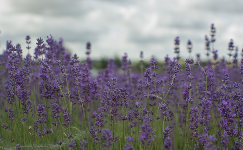 Cotswold Lavender – Paradise in Gloucestershire?